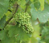 Frankreich Champagne Weintrauben