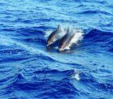 Ionische Inseln Delphine