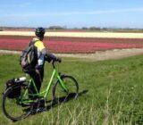 Radfahrer am Tulpenfeld